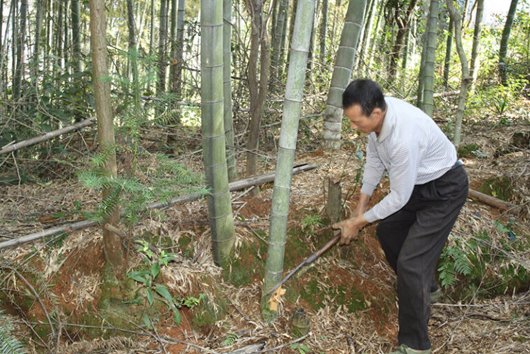 Unser Bambusfarmer beim Ernten für Bambus-Parkett